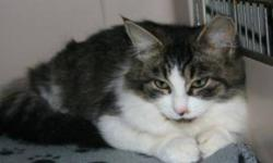 Breed: Domestic Short Hair-white Tabby   Age: Young   Sex: F   Size: M Susie is a 6 month old tabby and white DSH.   View this pet on Petfinder.com Contact: Shelter of Hope Animal Services   Cobourg, ON
