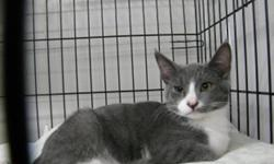 Breed: Domestic Short Hair - gray and white   Age: Young   Sex: F   Size: M Loki is shy and needs a family or someone who will spend time with her. She is very pretty kitten and loves to play with her brothers and sister.   View this pet on Petfinder.com