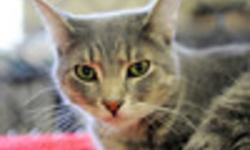 Breed: Domestic Short Hair Tabby   Age: Young   Sex: F   Size: S Lotti is a very shy girl who is looking for a very quiet, calm, patient and loving forever home. She loves other felines and is very playful.   View this pet on Petfinder.com Contact: Animal