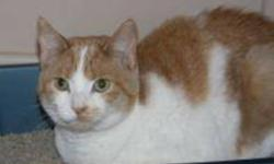 Breed: Domestic Short Hair - orange and white   Age: Young   Sex: F   Size: M Ginger is a one year old orange and white DSH.   View this pet on Petfinder.com Contact: Shelter of Hope Animal Services | Cobourg, ON
