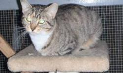 Breed: Domestic Short Hair Tabby - Brown   Age: Young   Sex: F   Size: M Maggie May is a very social young cat. She is less than one year old. She had been spayed and is anxious to find a new home where she won't get lost again.   View this pet on