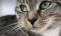 Breed: Domestic Short Hair Tabby   Age: Young   Sex: F   Size: S Cuddle Alert!! We want you to meet Vinnie. This gorgeous sweetheart is one of the most affectionate felines that you will ever meet. She was originally a stray that was picked up with her