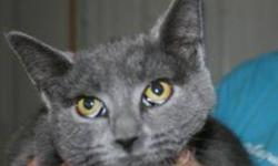 Breed: Domestic Short Hair-gray   Age: Young   Sex: F   Size: M India is a one year old grey DSH.   View this pet on Petfinder.com Contact: Shelter of Hope Animal Services   Cobourg, ON
