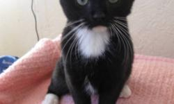 Breed: Domestic Short Hair   Age: Young   Sex: F   Size: M DOB July 25, 2010 Polly and Pippa are litter mates. They both are B&W but in totally different areas.....a really cute pair. Pippa has been adopted and Polly is now waiting her turn. She is very