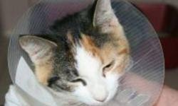 Breed: Calico   Age: Young   Sex: F   Size: M Mamie is a one year old Calico. The hat is worn to prevent the stitches being pulled out too soon.   View this pet on Petfinder.com Contact: Shelter of Hope Animal Services   Cobourg, ON