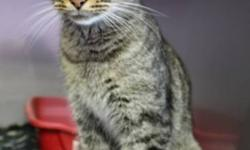 Breed: Tabby - Brown Domestic Medium Hair   Age: Young   Sex: F   Size: S This youngster has love written all over her pretty face! After being abandoned and being sent to the shelter with a few other cats you would think that this lady might be a bit