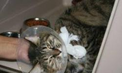 Breed: Tabby Domestic Medium Hair   Age: Young   Sex: F   Size: M Anna Lisa is a one year old tri-coloured tabby DMH. Collar is in place to prevent stitches from being removed too soon.   View this pet on Petfinder.com Contact: Shelter of Hope Animal