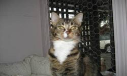 Breed: Tabby Domestic Medium Hair   Age: Young   Sex: F   Size: S KimChee is a sweet little tabby who recently moved to RAPS. She is still settling in however has been very receptive to visits and love from staff and seems to respond well to petting and