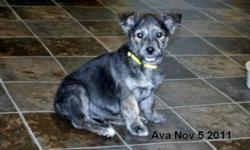 Breed: Terrier   Age: Young   Sex: F   Size: M This pretty girl is Ava and she is approx 3 months old. Ava was rescued by some nice people and brought to the shelter to find her new loving home. Ava is a very friendly, playfull puppy and loves to play