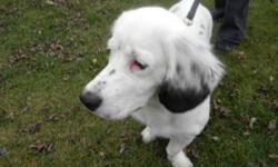 Breed: Basset Hound Cocker Spaniel   Age: Young   Sex: F   Size: M Molly is estimated to be born march 2011. She came to Kiko from a Hi-Kill Pound. She is a young dog ready to take on the world. She would benefit from an owner that would be willing to
