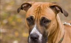 Breed: Boxer Pit Bull Terrier   Age: Young   Sex: F   Size: M Athena is beautiful young Boxer mix. Her original owner left her behind with someone who was unable to care for her so she was brought here. She is your typical young, full of energy dog who