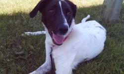 Breed: Brittany Spaniel Pointer   Age: Young   Sex: F   Size: M Lexi was recently rescued with help from a veterinary clinic and has made her way into our care with their help. She is a lean, medium-sized dog that is a little on the skinny side right now!
