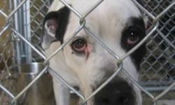 Breed: Boxer   Age: Young   Sex: F   Size: L Chaos is a 2 year old female spayed. She was dropped off at the shelter throughout the night in early November 2010. This is a nice dog that hates cats and would be well suited for a home without any other
