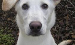 Breed: Husky Labrador Retriever   Age: Young   Sex: F   Size: L Paulina is a 9 month old LabX. She enjoys the company of other dogs and loves people. She loves to give kisses!   View this pet on Petfinder.com Contact: Great Slave Animal Hospital |