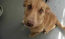 Breed: Labrador Retriever   Age: Young   Sex: F   Size: L Hi there my name is Honey. I am around four and half months old. I am a golden lab cross. I like other dogs. I am still a puppy so I need to be house trained. I am very new so keep checking for