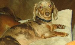 Breed: Dachshund   Age: Young   Sex: F   Size: S Lilly Lilly was born on Sept 15, 2010. She is a chocolate dapple mini smooth. She is experiencing some back issues. She is receiving acupuncture therapy and we are hopeful that she will recover completely.