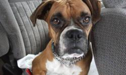 Breed: Boxer   Age: Young   Sex: F   Size: M Rosie is a wonderful dog that loves attention, she is shots and fixed. Rosie loves car rides and would like someone to take her for walk and just hang out with her. Rosie is not very tall but weighs 48lbs. She