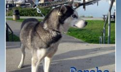 Breed: Siberian Husky   Age: Young   Sex: F   Size: M PORCHE is a lovely 2yr old, purebred, ex-sled dog that has come to the Island to learn the luxuries awaiting a pampered house pet :). Before coming to us, this pretty blue-eyed purebred racing Siberian