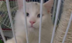 Breed: Domestic Long Hair-white   Age: Young   Sex: M   Size: M Benny came from an outside situation that is unfortunately VERY common. People have good intentions and feed the strays but don't do anything in the way of getting anyone fixed. When winter