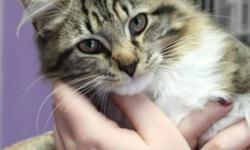 Breed: Domestic Medium Hair   Age: Young   Sex: M   Size: M   View this pet on Petfinder.com Contact: NS SPCA Provincial Animal Shelter | Dartmouth, NS