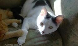 Breed: Domestic Short Hair - gray and white   Age: Young   Sex: M   Size: S Update July 2011: Ricky had all his teeth extracted a few months ago and he is doing great without them! He still eats hard food and plays with all the toher kitties. He has been