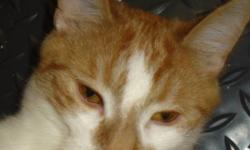 Breed: Domestic Short Hair - orange and white   Age: Young   Sex: M   Size: M Will's momma was found as a pregnant stray who was about to give birth any second. A generous friend of NAfA agreed to give her a second chance at life and provide her with a