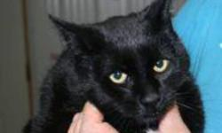 Breed: Domestic Short Hair-black   Age: Young   Sex: M   Size: L Marco is a one year old black DSH.   View this pet on Petfinder.com Contact: Shelter of Hope Animal Services   Cobourg, ON
