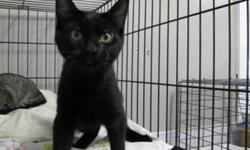 Breed: Domestic Short Hair-black   Age: Young   Sex: M   Size: M Possibly not Shumi's best picture, but you can see he is cute. He likes to be petted and comes when the cage is opened. He plays all day with his brother and sisters. He would love to chase