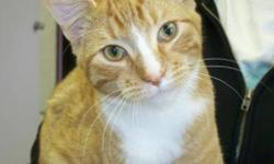 Breed: Tabby - Orange   Age: Young   Sex: M   Size: M Romeo is a great young boy who is in love with love. He is one of the cuddliest cats in this whole place! He has beautiful markings and a more beautiful personality. Just pick him up and you will see!