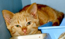 Breed: Tabby - Orange   Age: Young   Sex: M   Size: M Sparky is a shy little boy who needs a quiet, loving home. He was rescued from a large feral cat colony as a tiny baby, and is now ready to meet new people and start the hunt for his forever home.