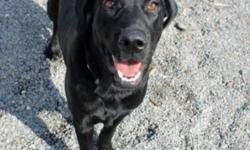 Breed: Black Labrador Retriever   Age: Young   Sex: M   Size: L Dylan: 8 month old Black Lab, male I am a sweet and goofy guy who loves to play! I'm not the best retriever, but I'll chase whatever toy you throw for me! I am also very affectionate and love