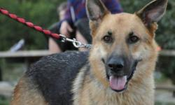 Breed: German Shepherd Dog   Age: Young   Sex: M   Size: L King is a 2yr old Shepherd with a sweet disposition. Very affectionate and craving attention. Listens well but will require obedience as he tends to jump up to say hello. King has travelled all