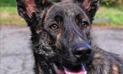 Breed: German Shepherd Dog   Age: Young   Sex: M   Size: M A behaviour counselling session with our Adoption Staff is necessary before adopting this animal. This dog gets easily over excited. He needs lots of exercise and outings with guardian. He may