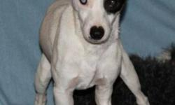 Breed: Jack Russell Terrier   Age: Young   Sex: M   Size: S Pez is a young male JRT who was rescued from a shelter where he was going to be euthanised. Pez has a broken front leg, it is an old injury that happened at least 4 months ago. He will be