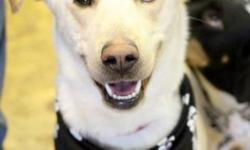 Breed: Labrador Retriever Husky   Age: Young   Sex: M   Size: L Write up to follow on Duke!   View this pet on Petfinder.com Contact: East Coast German Shepherd Rescue | Dartmouth, NS