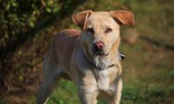 Breed: Labrador Retriever Yellow Labrador Retriever   Age: Young   Sex: M   Size: L Very good looking gentle dog....Hes hasn't been at the shelter very long..And would love to find a home soon, so he can get to streech out his legs...Great family pet...