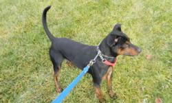 Breed: Manchester Terrier   Age: Young   Sex: M   Size: M Obie is such a character! He can seem offputting when in his kennel and he doesn't know you, but get him out and he's your best friend in the whole world. He goes 100 miles a minute out on the
