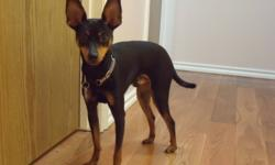 Breed: Miniature Pinscher   Age: Young   Sex: M   Size: S TUCKER: 13-14 months; neutered; vaccinations up-to-date (last booster Aug. 2/11); housetrained. This purebred min pin is playful, curious, and intelligent with a fair vocabulary. He loves to