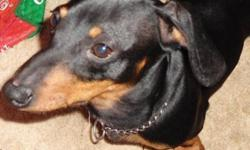 """Breed: Dachshund   Age: Young   Sex: M   Size: S If you look up the word """"clown"""" in the dictionary, you might see Rudy's picture next to the definition. This delightful Miniature Dachshund will keep you smiling with his comical antics and sunny"""